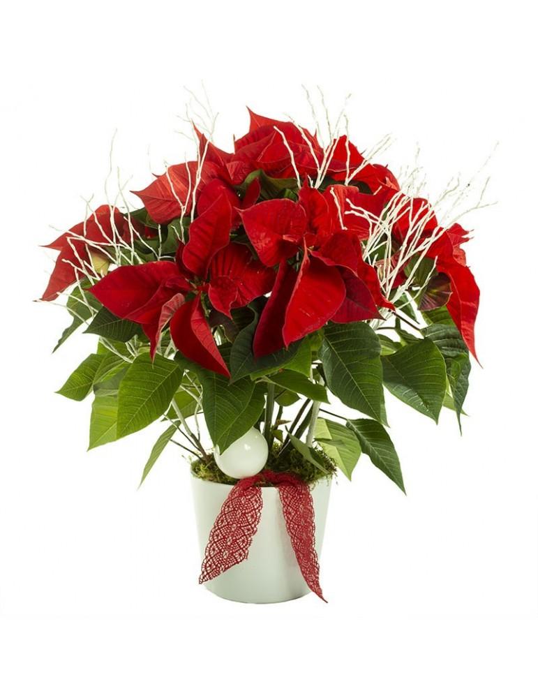 Poinsetia - étoile de Noël