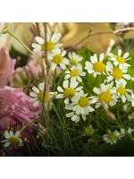 Détail bouquet fleurs de camomille