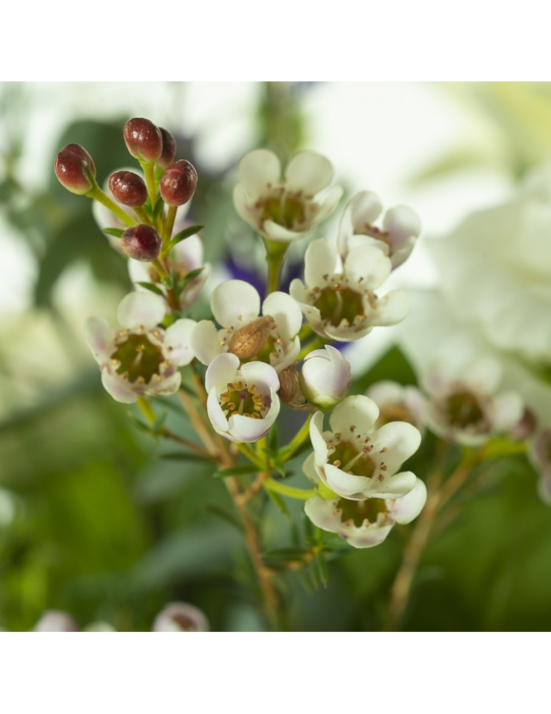 Fleur wax