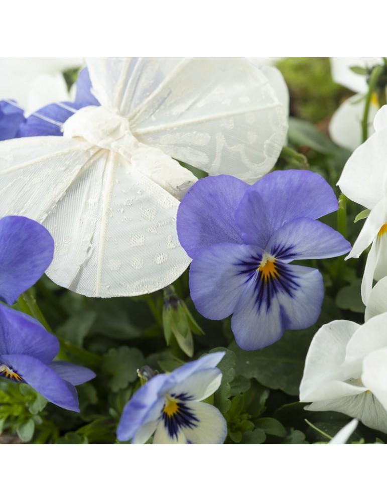 Pensées bleues mauves et blanches