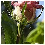 Tige_rose