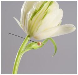 Tulipe percée aiguille