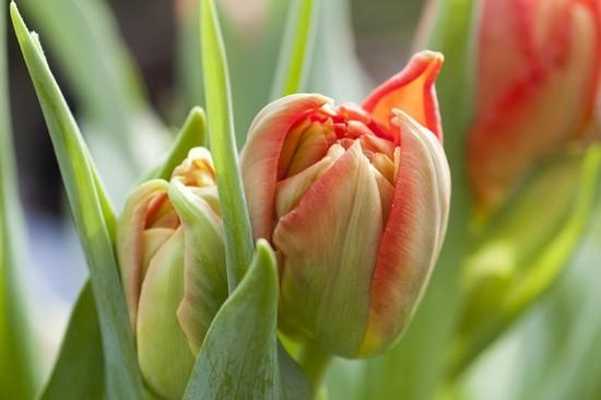 Tulipes - Petites histoires