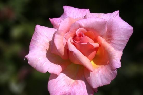Comment choisir une rose