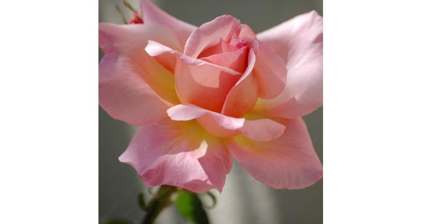 Bien choisir une rose
